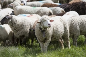 moutons